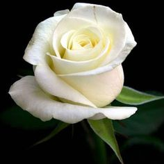 1030 best white roses pink roses violet roses hybrid roses white rose flower meaningwhite rose flower white rose symbolic white flowers white mightylinksfo