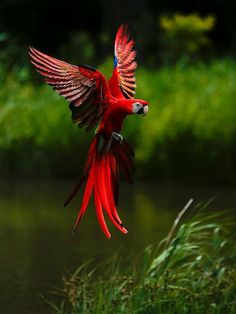 Scarlet macaw in flight. The scarlet macaw (Ara macao) is a large, red, yellow and blue South American parrot, a member of a large group of Neotropical parrots called macaws. It is native to humid evergreen forests of tropical South America. Pretty Birds, Love Birds, Beautiful Birds, Animals Beautiful, Cute Animals, Birds 2, Small Birds, Simply Beautiful, Beautiful Things
