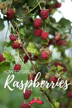 Learn how to grow raspberries in your own backyard or garden! These delicious berries are easy to grow and a fun fruit to harvest! Fig Fruit Tree, Planting Fruit Trees, Dwarf Fruit Trees, Growing Fruit Trees, Potted Trees, Fruit Plants, Fruit Garden, Vegetable Garden, When To Plant Garden