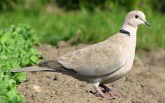 Eurasian collared dove / Streptopelia decaocto / Кольчатая горлица