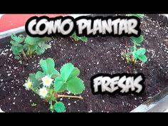 Como Plantar Fresas En El Huerto Urbano || La Huertina De Toni