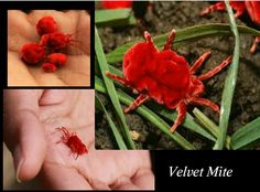 Red hue: velvet mite- an insect with perfect red colour and soft velvet body. It looks amazing!