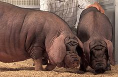 Google Image Result for http://upload.wikimedia.org/wikipedia/commons/b/bc/USDA_ARS_Meishan_pig-Cropped.jpg