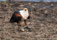 Dethroned by a fat fish - Africa Geographic Magazine Blog