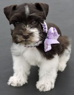 "Exceptional ""schnauzer puppies"" detail is offered on our site. Take a look and you wont be sorry you did. Baby Puppies, Cute Puppies, Cute Dogs, Dogs And Puppies, Doggies, Miniature Schnauzer Puppies, Schnauzer Puppy, Schnauzers, Dog Quotes Love"