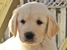 Golden Puppy Gracie