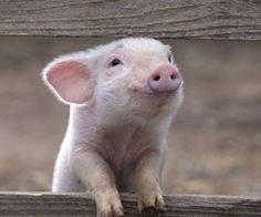 little lovely pig