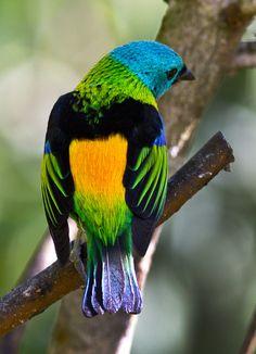 Foto saíra-sete-cores (Tangara seledon) por Marco Cruz | Wiki Aves - A Enciclopédia das Aves do Brasil