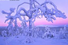 Joulukuu Luostolla - joulukuu Luosto joulukuinen kaamos kaamosaika sininen hetki talven sini sinisyys talvi talvinen sydäntalvi sydantalvinen punerrus rusko ruskotus sinipuna kelo honka kelohonka lumi luminen metsä tykky tykkylumi tunturi Luostotunturi Pyhä-Luosto Pyhä-Luoston kansallispuisto Ukko-Luosto Lappi