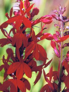 Cardinal Flower - Cardinal flower is an excellent late-summer-blooming perennial for the edge of the water garden. The bright red flowers may attract hummingbirds.