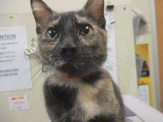 Houston Tx Domestic Shorthair Tortie Meet Nori A Pet For Adoption Pet Adoption Pets I Love Dogs