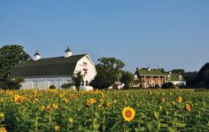Sunflower fields at Huntingfield Creek in Maryland - Unplug and Recharge in the Mid-Atlantic - Bethesda Magazine - September-October 2016 - Bethesda, MD
