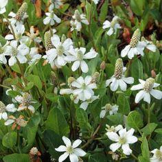 Anemopsis californica - Anémopsis de Californie