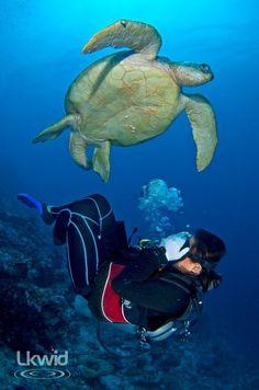 Why so shy, diver? i'm shelled-up! ;) -turtle (www.facebook.com/sipadanresort)