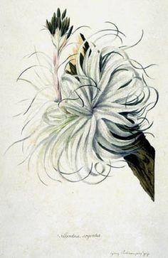 Illustration by Sydney Parkinson. Its a dream of mine to own a sydney parkinson botanical!