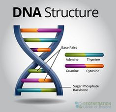 DNA is also known as Deoxyribo Nucleic Acid. DNA is considered to the building block of the body and is found in the nuclei of all cells Gcse Science, Science Biology, Science Facts, Ap Biology, Forensic Science, Teaching Biology, Computer Science, Dna Play, Dna Model Project