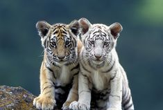 white tiger cubs - Google Search