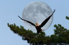 Super Moon and Bald Eagle Photo by Dan Dady -- National Geographic Your Shot