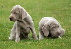 Weimaraners- def. going to get one as my next dog!