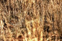 Stalking - This is a shot of the first leopard i ever meet in Africa, a young female that here shows of the awsome camoflage while stalking a young impala buck. Life doesnt get much better than this...... Hope you all have a great easter, will think about you while working my behind of....;)