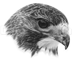 how to draw a realistic hawk- step by step