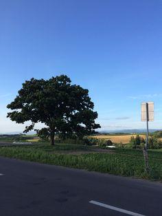 セブンスターの木、美瑛、北海道