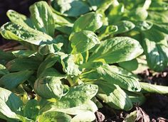 Chicorée, épinard, mâche : quand et comment planter les légumes de la saison…
