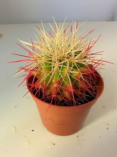 Echinocactus grussonni : Cactus y Suculentas de Amanecer