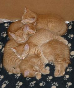 cute ginger cat mama and her 6 ginger kittens spice rack
