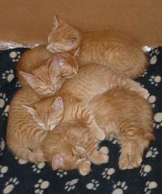 Orange tabby lovers. . . it's an orange tabby slumber party!