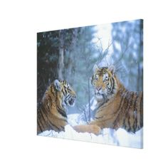 =>>Cheap          Siberian Tigers Resting in Snow Stretched Canvas Prints           Siberian Tigers Resting in Snow Stretched Canvas Prints Yes I can say you are on right site we just collected best shopping store that haveReview          Siberian Tigers Resting in Snow Stretched Canvas Pri...Cleck Hot Deals >>> http://www.zazzle.com/siberian_tigers_resting_in_snow_canvas-192865286404549486?rf=238627982471231924&zbar=1&tc=terrest