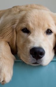 Golden Retriever Puppies – 5 Things To Search For When Purchasing A Puppy Cute Puppies, Cute Dogs, Dogs And Puppies, Doggies, Animals And Pets, Cute Animals, Dog Life, I Love Dogs, Animals Beautiful