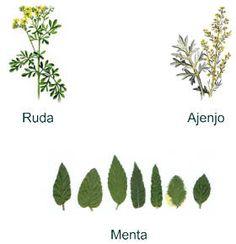 Ruda una planta medicinal para varices inflamacin o dolor de