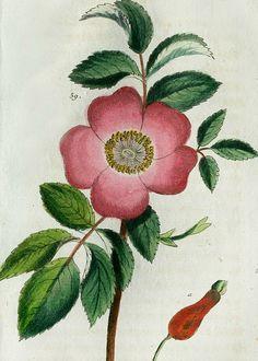 Tobias Wilhelm Gottlieb  -  Rose  -  1810