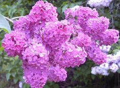 I miss the smell of lilacs.  We had a tree in our yard when I was a kid.