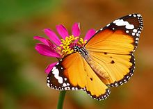 "Danaus chrysippus, also known as the plain tiger or African monarch, is a medium-sized, butterfly widespread in Asia and Africa. It belongs to the Danainae (""Milkweed butterflies"") subfamily of the brush-footed butterfly family, Nymphalidae."