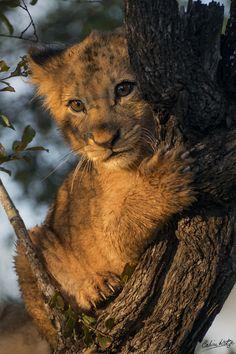 Adorable lion cub.