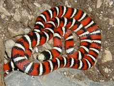 The Arizona mountain kingsnake (Lampropeltis pyromelana) is harmless. Its coloration, though, is similar to that of the Western coral snake (Micruroides euryxanthus). Therefore it is believed to be a mimic, i.e. it uses the poisonous snake's colours as disguise to enemies.