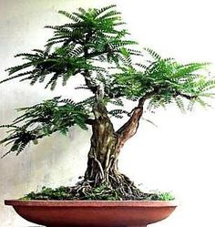 Tamarindus indica Tamarind Tree seeds orchid like blooms Container Bonsai garden seeds) Bonsai Fruit Tree, Bonsai Tree Care, Bonsai Plants, Bonsai Garden, Garden Trees, Fruit Trees, Indoor Trees, Potted Trees, Tamarindo