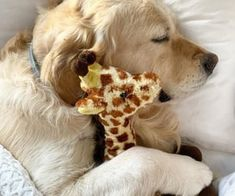 Cute Little Puppies, Cute Dogs And Puppies, Pet Dogs, Pets, Cute Funny Animals, Cute Baby Animals, Teddy Bear Dog, Sleepy Dogs, Funny Dog Pictures