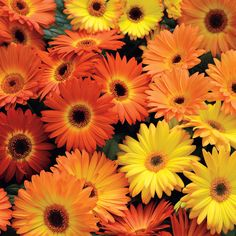 Revolution Yellow-Orange Gerbera Daisy Seeds Revolution Yellow-Orange Gerbera Daisy Seeds Revolution™ is the top-selling Gerbera today among professional growers, and when you give these seeds a try, Daisy Wallpaper, Orange Wallpaper, Photo Wallpaper, Orange Aesthetic, Flower Aesthetic, Yellow Daisies, Orange Flowers, Spring Flowers, Dahlia Flower
