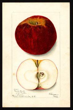 Artist: Heiges, Bertha Scientific name: Malus domestica Common name: apples Variety: Dula Beauty Geographic origin: Lenoir, Caldwell County, North Carolina, United States Physical description: 1 art original : col. ; 16 x 25 cm. Specimen: 30211 Year: 1903