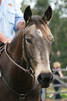 Just like the Horse on Man From Snowy River...Australian Stock Horse 074 by Tried n True on Flickr.