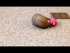 Rollie, a southern three-banded armadillo, playing - YouTube