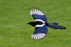 magpie illustrations | Photo by Rutherfordium (Lauren)