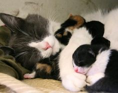 Cat mama wraps her tiny day old babies around her, holding them tight in her arms. A protective force field called Mom