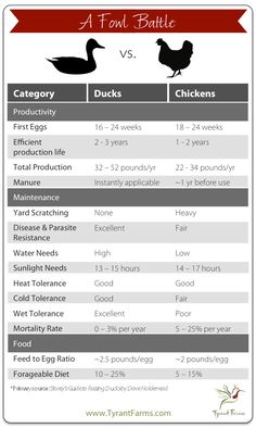 All You Need to Know About Duck Eggs — Nutrition, Benefits, Raising Ducks, and Hatching Duck Eggs is part of All About Duck Eggs Nutrition Benefits And Comparison - Is it true that duck eggs are much better than chicken eggs Well, here's the truth Backyard Ducks, Backyard Farming, Chickens Backyard, Backyard Poultry, Raising Ducks, Raising Chickens, How To Raise Ducks, Raising Farm Animals, Canard Coop