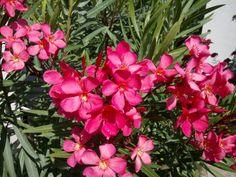 Leander gondozás évtizedes tapasztalatai első kézből – Balkonada Flowers, Plants, Leander