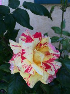 Casablanca Rose