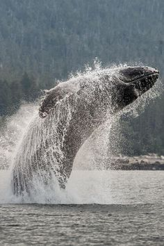 Leap Free, Lynn Canal, Alaska . // The humpback whale (Megaptera novaeangliae) is a species of baleen whale. One of the larger rorqual species, adults range in length from 12–16 metres (39–52 ft) and weigh approximately 36,000 kilograms (79,000 lb). The humpback has a distinctive body shape, with unusually long pectoral fins and a knobbly head.